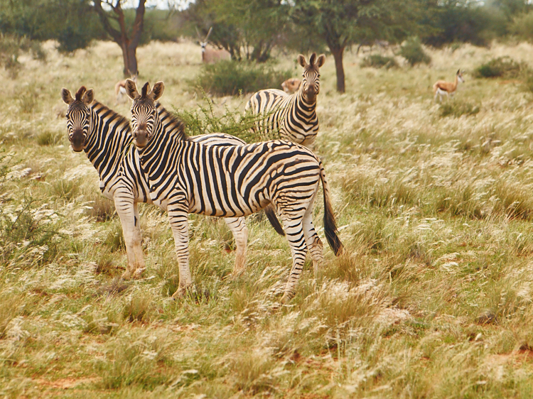Zebrafamilien begegnet man hier überall.