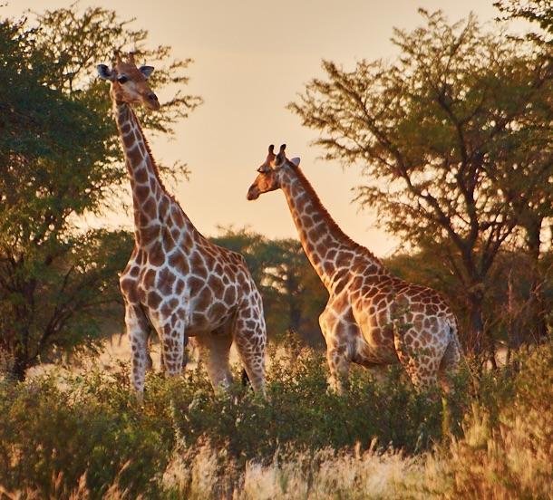 Familie Giraffe