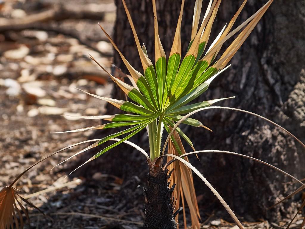 trotzdem wachsen die kleinen Palmen weiter.