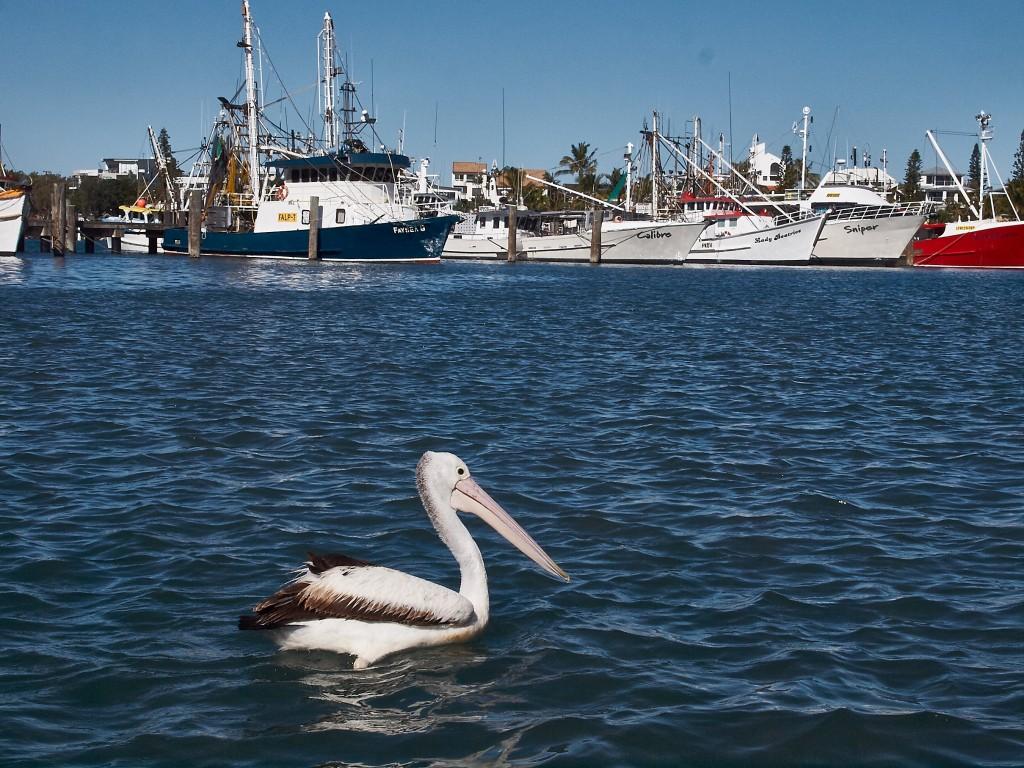 Dieser Pelikan wartet auf frischen Fisch ...